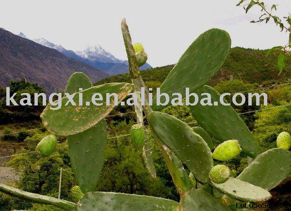 Hoodia cactus extract  tablet