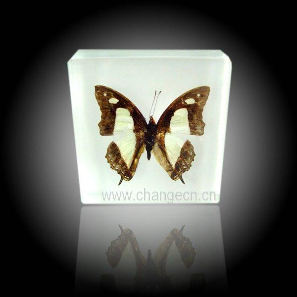 2011 Fashion real butterfly specimen decoration