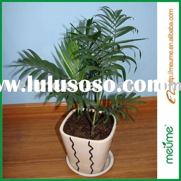 House plant--Bamboo palm tree (Reed Palm)