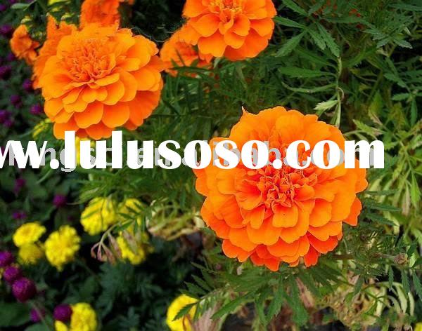 Natural plant extract,Marigold Extract ,Lutein powder,Ester Oil