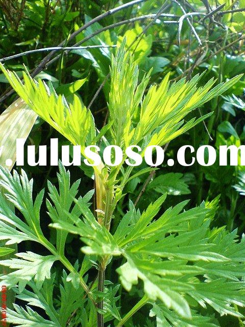 Wormwood Extract