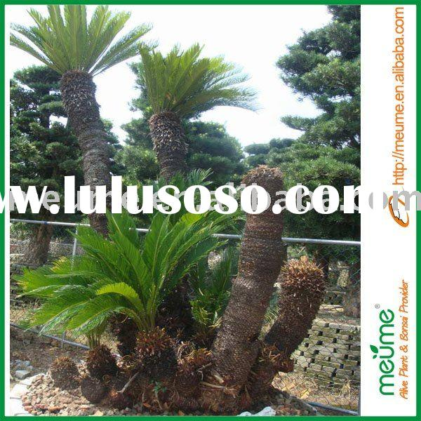 Cycas decorative tree (Palm tree)