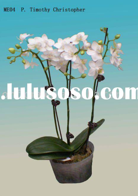 Flowering White Phalaenopsis Orchid house plant indoor plant outdoor plant