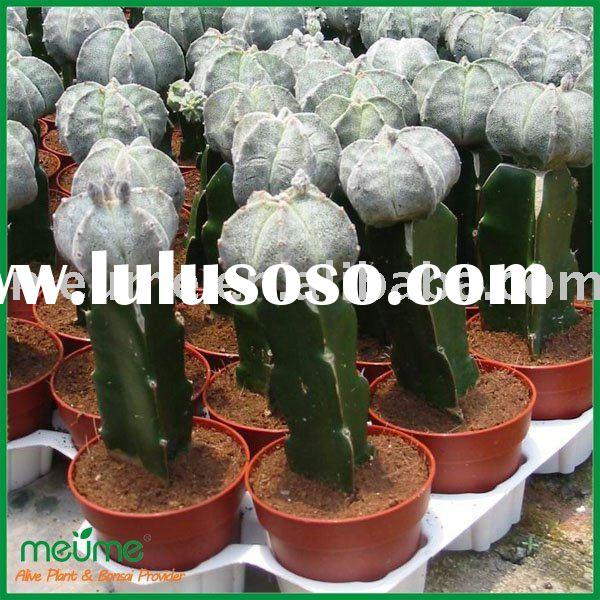 Natural plants--Grafted Cactus (cacti)