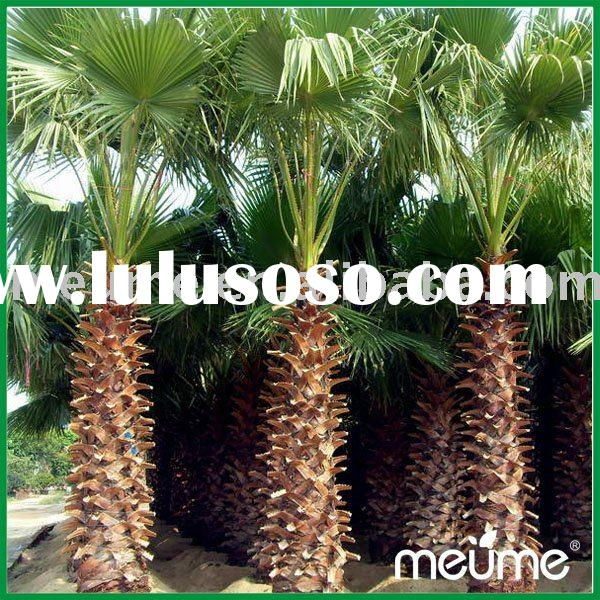 Outdoor plants--Washingtonia (palm tree)