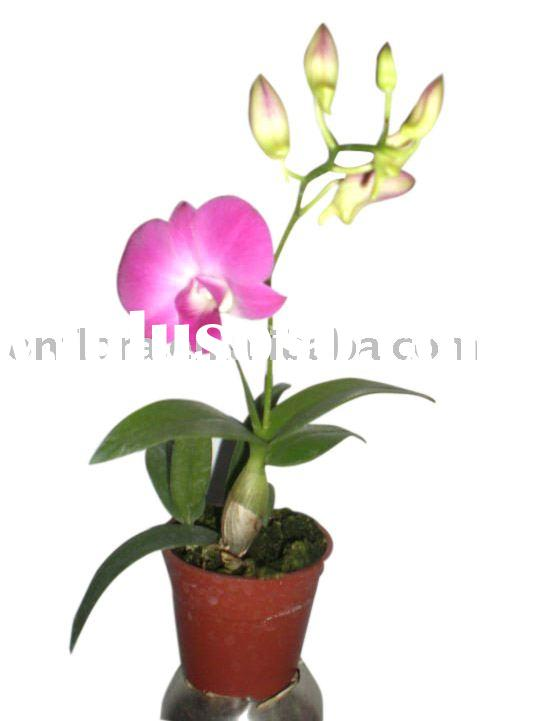 Red Orchid Dendrobium Flowering Plants Indoor Plants Outdoor Plants