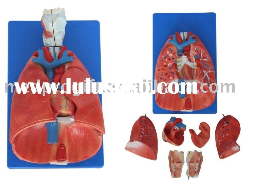 lung and heart model,medical teaching model,Anatomical Models, Medical Teaching Aids