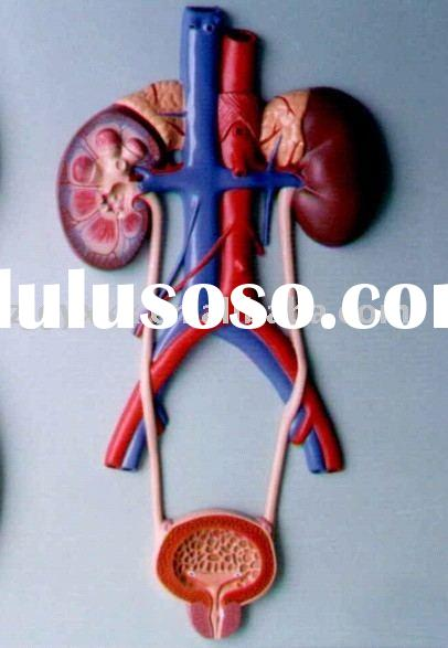 Relief model of urinary system(anatomical model ,educational model)