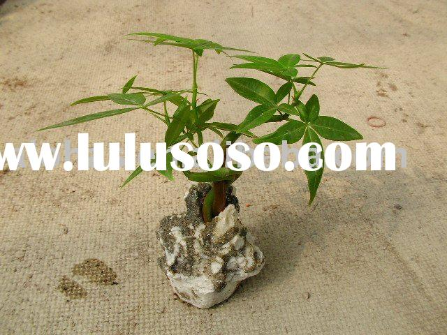 Pachira Aquatica, bonsai, garden plants, indoor plants