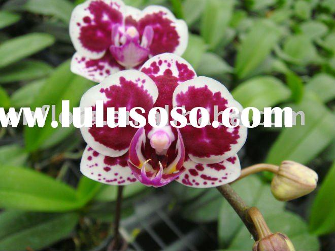 Harlequin Flowering Orchid House Plant Indoor Plant