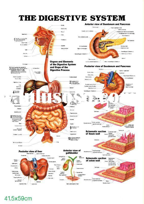 3d chart,anatomy chart, THE DIGESTIVE SYSTEM
