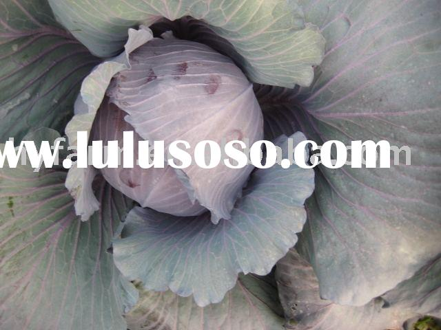 Fresh Purple Cabbage