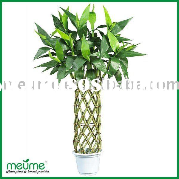 Green Braided lucky bamboo (indoor house plants)