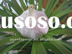 China fresh garlic(normal white and pure white) all size