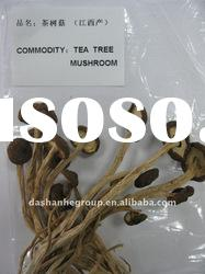 Full range and nutrients and best selling products of Dried Tea Tree Mushroom,